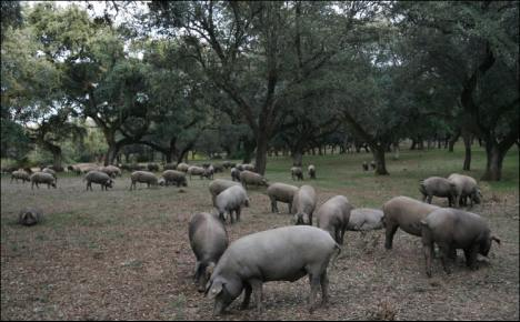 Jamones ibericos - Iberian pigs in the ideal surrounds amongst Oak trees