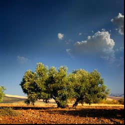 Spanish Olive oil bearing tree resplendent in the afternoon sun